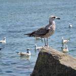 Баклан и чайки