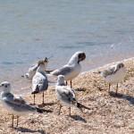 Чайки на Пересыпи